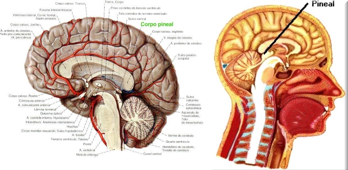 Por Dentro do Cérebro: Tudo que você precisa saber sobre a Glândula ...