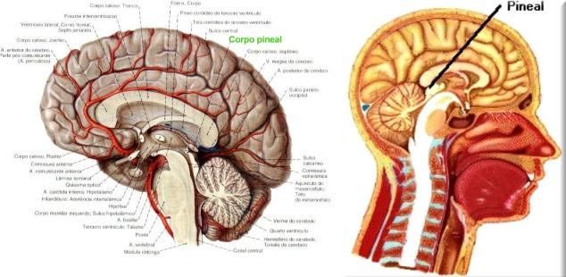 Localização Glandula Pineal no cérebro.